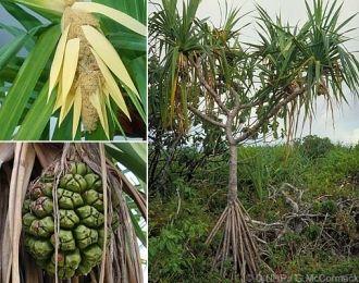 malediven kokospalmen schraubenpalme asiatische giftlilie. Black Bedroom Furniture Sets. Home Design Ideas